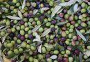 Gli ulivi dei Colli Berici: dove non osano le viti